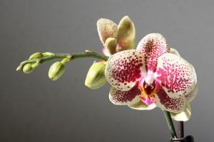 faire refleurir une orchidée 2