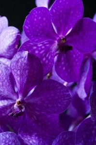 orchidée-vanda