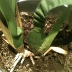 Bouture Orchidée par ramification de la plante mère