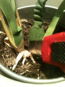 bouture orchidée2