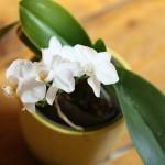 La folie de la mini orchidée ! Tout savoir sur la version de poche !