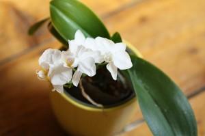 mini orchidée phalaenopsis