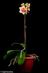 mini orchidée soins