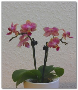 mini orchidée soins 2