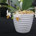 Mini Orchidée, description et soins spécifiques