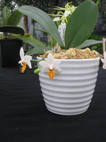 mini orchid e description et soins sp cifiquesentretenir une orchid e. Black Bedroom Furniture Sets. Home Design Ideas