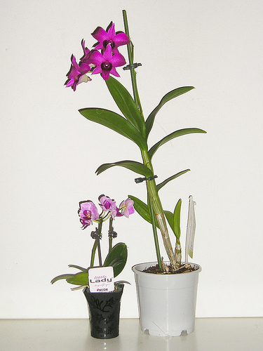 la folie de la mini orchid e tout savoir sur la version de poche entretenir une orchid e. Black Bedroom Furniture Sets. Home Design Ideas