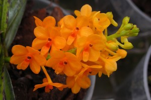 mini orchidée ascocentrum