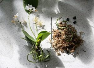 rempotage d 39 une orchid e suivez le guide entretenir une orchid e. Black Bedroom Furniture Sets. Home Design Ideas