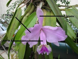 cattleya mossiae structure