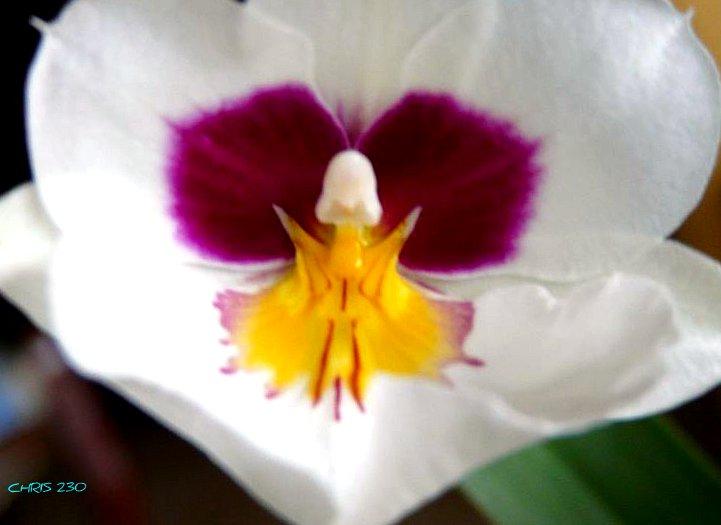 Miltoniopsis description et soins sp cifiquesentretenir une orchid e - Orchidee entretien apres floraison ...
