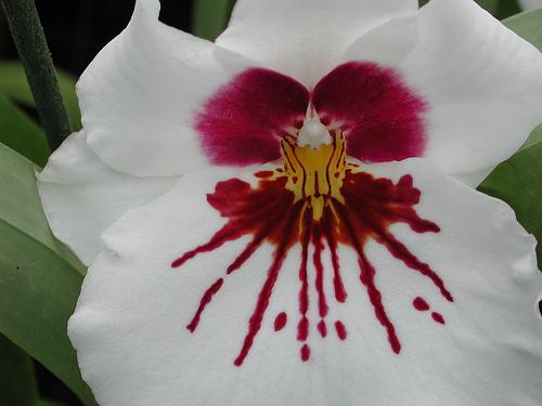 Miltoniopsis-hybride