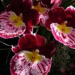 Miltoniopsis, description et soins spécifiques