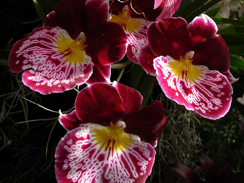Miltoniopsis-waterfall
