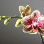 bouture orchid e par ramification de la plante. Black Bedroom Furniture Sets. Home Design Ideas